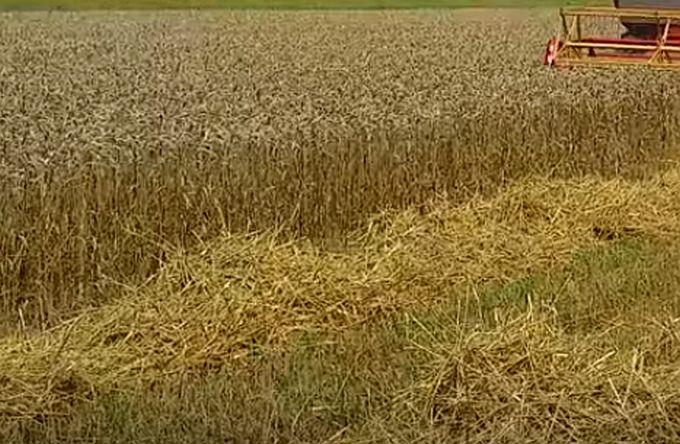 Zbog kasne zime, pšenica pobolijeva zbog vlage, sijaćice zakasnile