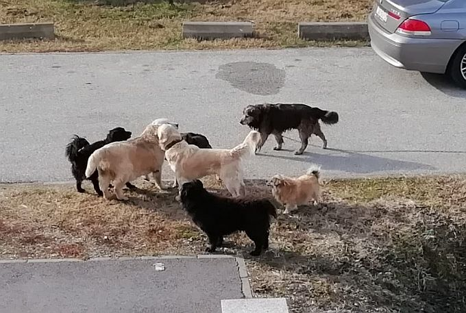 Psi lutalice jutros su probudili stanovnike Livade, a šetaju i Mikrorajonom