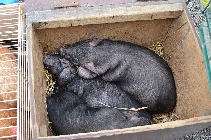 Afrička svinjska kuga potvrđena u Srbiji – u Hrvatskoj na snazi preventivne mjere