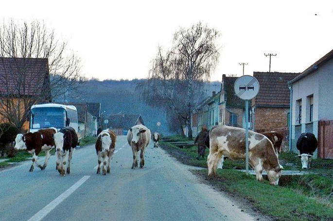 Poljoprivrednicima, velikim dijelom mladim, dodijeljeno po 30 tisuća kuna za kupnju steonih junica