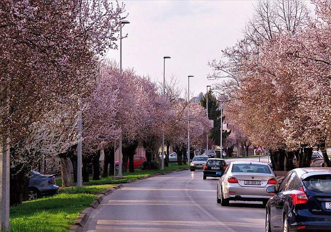 Građani pitaju zašto se u Zagrebačkoj ulici ruše stabla crvenolisnih šljiva? Dobili smo odgovor