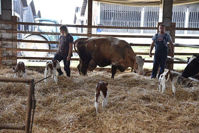 Prije tri dana u Slavoniji se dogodio fenomen, krava je otelila četiri teleta, izgledi da se takvo što dogodi su 1 na prema 11 milijuna
