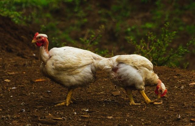 Influenca ptica: Održana sjednica Nacionalnog kriznog stožera